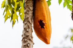 Papaya ripened on the tree was punctured. Papaya ripened on the tree was punctured Royalty Free Stock Photos