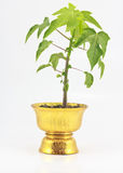 Papaya seedlings planted. On a brass bowl stock photography