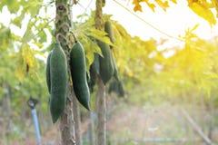Papaya som arbeta i trädgården, örtfrukt på träd Selektivt fokusera Fotografering för Bildbyråer