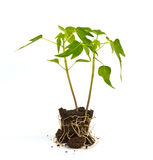 Papaya sprouts Royalty Free Stock Image