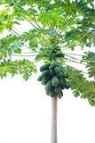Papaya tree. Bunch of Papayas hanging from the tree Royalty Free Stock Photography