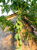Papaya tree Royalty Free Stock Photos