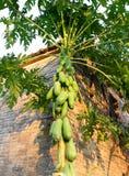 Papaya tree. Green papaya tree Beside the wall Royalty Free Stock Photos