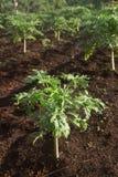 Papaya tree. The papaya tree field on nature lighting stock image