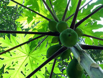 Papaya Tree. Green Papaya tree with papayas Stock Image