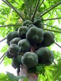 Papaya tree. Greenish papaya tree on field stock photo