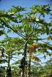 Papaya tree. With Green Papayas, sunny day royalty free stock photos