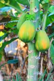 Papaya Tree. With the almost ripe fruits Stock Image