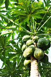 Papaya tree. In the rainforest royalty free stock images