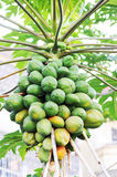 Papaya on the tree Stock Photo