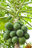 Papaya on the tree. Stock Photos