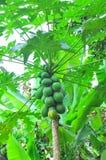 Papaya tree. Papayas on tree at a tropical farm Stock Photography