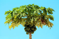 Papaya tree Stock Photos