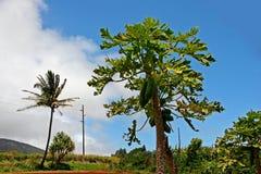 Free Papaya Tree Stock Photography - 22687022