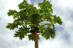 Papaya tree. A papaya tree full of fruit Royalty Free Stock Image