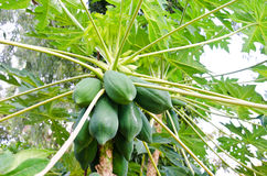 The papaya tree Royalty Free Stock Photography