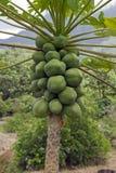 Papaya tree. Closeup of a papaya tree with green papaya royalty free stock photos