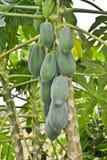 Papaya tree. Papaya fruits hanging from a papaya tree Stock Images