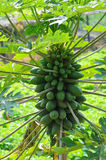 Papaya tree. Green papaya tree in forest royalty free stock photo