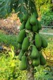 Papaya tree. Close up of Papaya Tree royalty free stock image