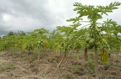 Papaya tree Stock Images