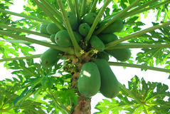 Papaya Tree. Many Papaya at a Papaya Tree royalty free stock photography