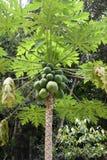 Papaya tree. Tropical fruit bearing stock image