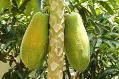 Papaya Tree. Carica papaya tree bearing fruits in a tropical farm stock image