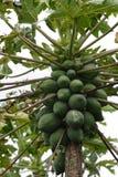 Papaya tree Royalty Free Stock Photography
