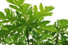 Papaya Tree Stock Image