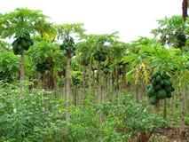 Papaya tree. A picture of papaya plantation Stock Photography