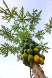 Papaya tree. Papaya fruit hanging on tree in Hawaii royalty free stock photos