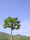 Papaya tree against a blue sky Royalty Free Stock Images