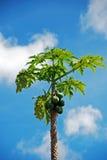 Papaya tree against the sky Royalty Free Stock Image