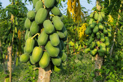 Papaya Tree. Agriculture farm with tropical fruits stock image