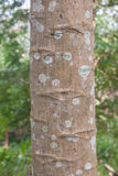 Papaya Tree Bark Stock Photo