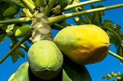 Papaya tree. On blue backgroud stock photography