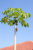 Papaya Tree Royalty Free Stock Image