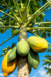 Papaya tree. On blue sky backgroud stock photo