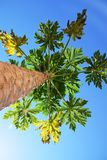 Papaya tree in a blue sky view from below royalty free stock images