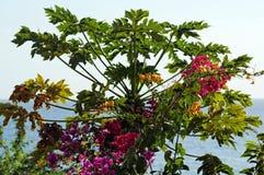 Papaya tree and bougainvillea flowers. Papaya tree and bougainvillea tree photographed in Senegal, west AFrica Stock Images