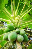 Papaya tree with bunch of fruits Royalty Free Stock Photography