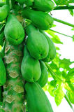 Papaya tree Royalty Free Stock Photos