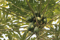 Papaya tree. With bunch of fruits royalty free stock images