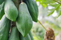 Papaya on the tree Royalty Free Stock Photos