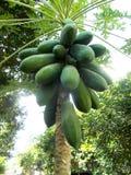 Papaya tree and bunch of fruits Stock Images