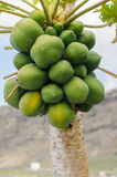 Papaya tree. With a bunch of papayas Stock Photography
