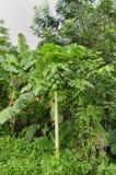 Papaya tree (Carica p.) Royalty Free Stock Photo