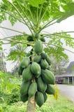 Papaya tree (Carica p.) Stock Image