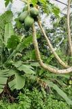 Papaya tree (Carica p.) Stock Photography